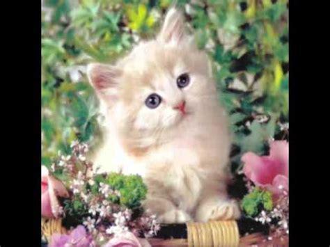 imagenes de gatitos blancas tiernas gatitas tiernas youtube
