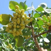 pista tree images pista tree fruit trees chennai green orchid