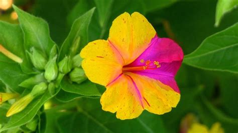 fiori belli di notte di notte mirabilis jalapa mirabilis jalapa