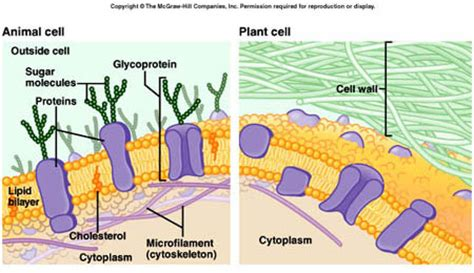 carbohydrates and cholesterol cell membrane carbohydrates and cholesterol