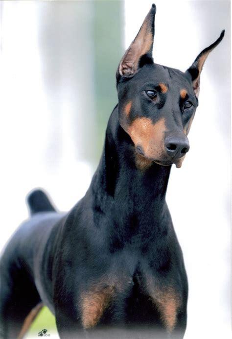 doberman dogs doberman pies sportowiec jakie sporty dla dobermana zapytaj onet pl