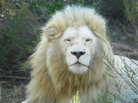 download mp3 album white lion male white lion images