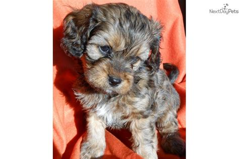 cavapoo puppies mn cavapoo for sale for 875 near minneapolis st paul minnesota 0ed131fc 4881