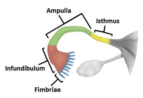 sections of the uterus the fallopian tubes uterine structure function