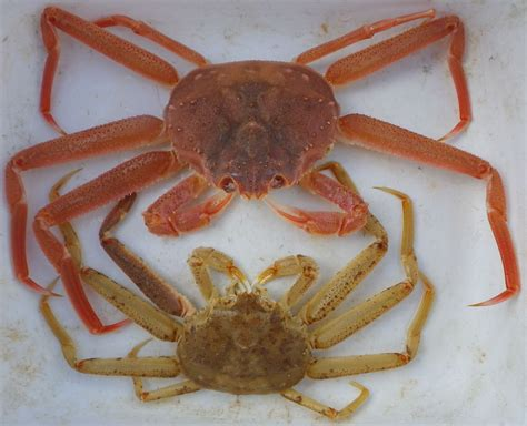How Do Crabs Shed Their Shell by What S Happening Snow And Crab Growth Study In