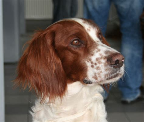 red setter definition irish red and white setter wallpapers hd download