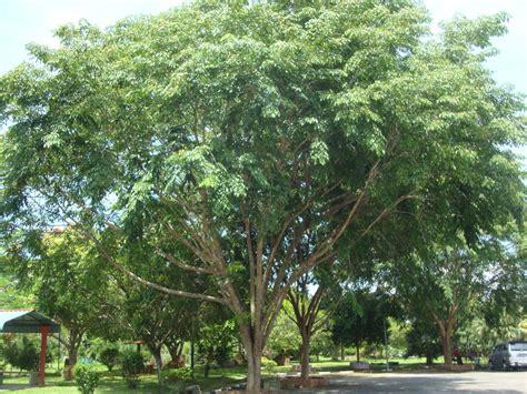 Pohon Cannonball alam sekitar tajuk kajian langkah langkah