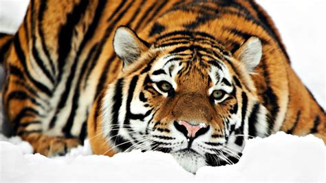 Amazing Animals Tigers wallpaper proslut amazing wallpapers of tigers