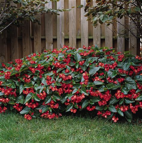 begonia dragon wing garden housecalls