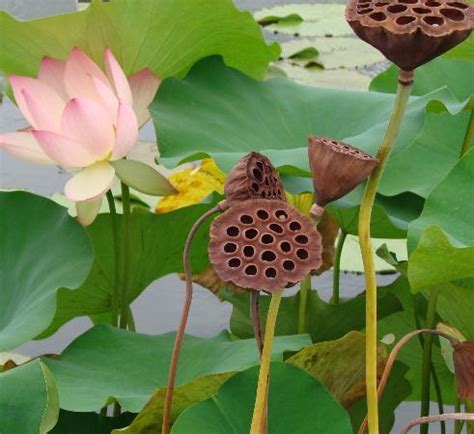 Lotus Flower And Seed Cups Picture Of New York Botanical Botanical Gardens Seeds