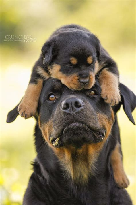 rottweiler puppy 25 best ideas about rottweilers on rottweiler puppies baby rottweiler