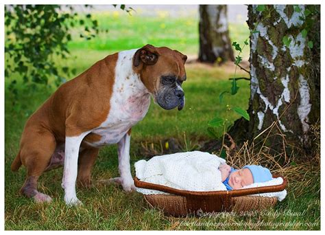 baby boxer puppies baby boxer puppy breeds picture