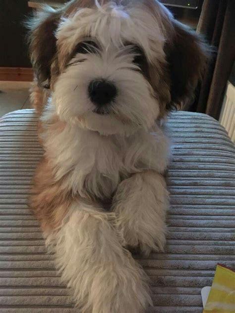 Tibetan Terrier Shed by 17 Best Ideas About Tibetan Terrier On Terrier