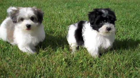 havanese puppies playing   yard cute   sale