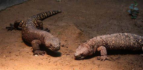 mexican beaded lizard facts mexican beaded lizard facts and pictures reptile fact