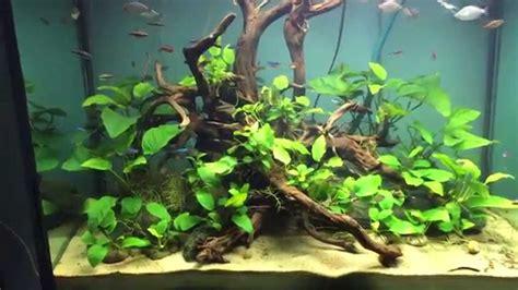 aquascape anubias anubias set up aquarium youtube