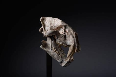 sabre tooth tiger skull for sale saber tooth cat fossil skull for sale at 1stdibs