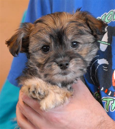 poodle mix puppies rescue poodle chihuahua mix puppies foto 2017
