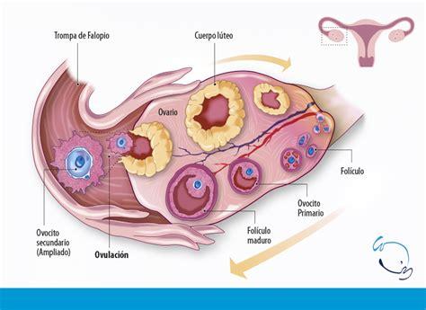 ciclos menstruales cortos calculadora de la ovulaci 243 n y d 237 as f 233 rtiles de la mujer