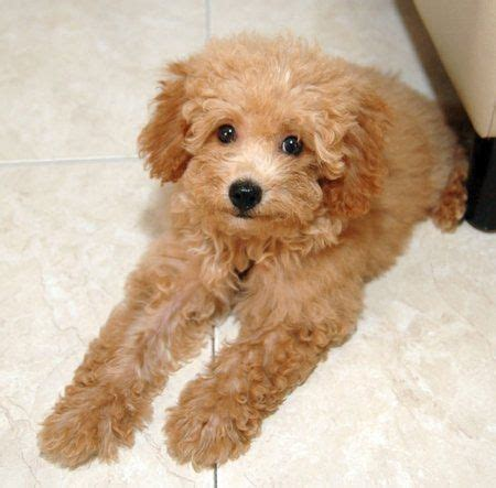 picture of poodle with silky hair texture save a rescue