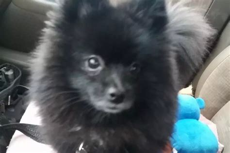 where did pomeranians come from maximus twenty paws rescue
