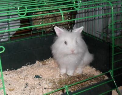 coniglio nano testa di prezzo coniglio nano testa di cagliari sardegna