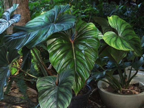 frangipini gardens philodendron plowmanii this is a creeping plant creeps along the ground and