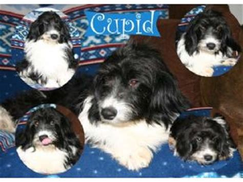 corgi puppies raleigh nc pembroke corgi puppies in south dakota