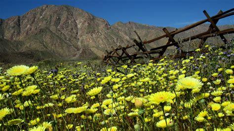 super bloom anza borrego wildflower super bloom photos of the anza borrego desert