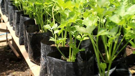 pertanian organik budidaya tanaman seledri skala rumah