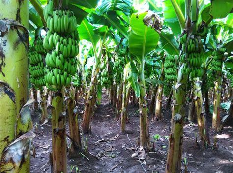 when do banana trees fruit grow banana plants pictures plants and banana plants