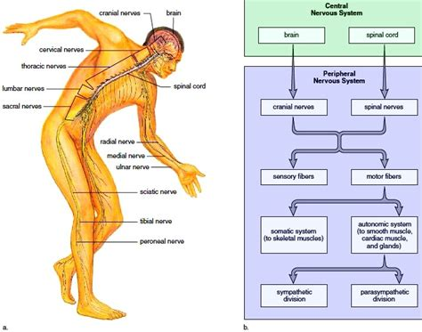diagram of central and peripheral nervous system we glimpse at the electric an introduction to the