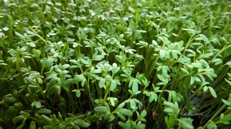 Garden cress growth experiments & recipes   Cressinfo.com