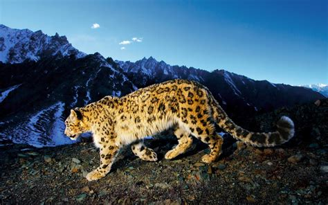 wallpaper iphone 5 leopard mac os x snow leopard wallpaper hd 60 images