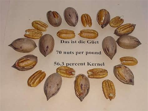 pecans and dogs plantanswers plant answers gt pecans equal health and