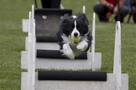 how to your for flyball southern cross flyball exhibition australian arabian national chionships
