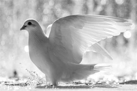 black and white wallpaper with birds wei 223 e taube hd desktop hintergrund breitbild high