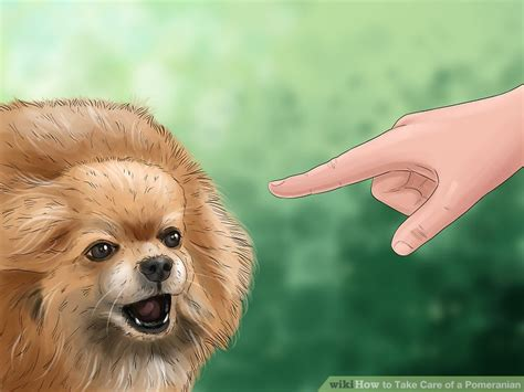 how to take care of a pomeranian how to take care of a pomeranian with pictures wikihow