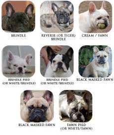 colors of bulldogs bulldog coat colour genetics breeds picture