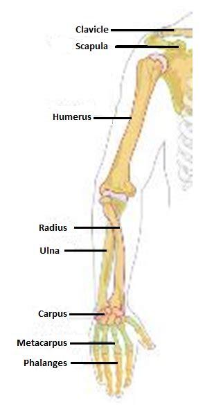 arm bone anatomy google search anatomy and physiology