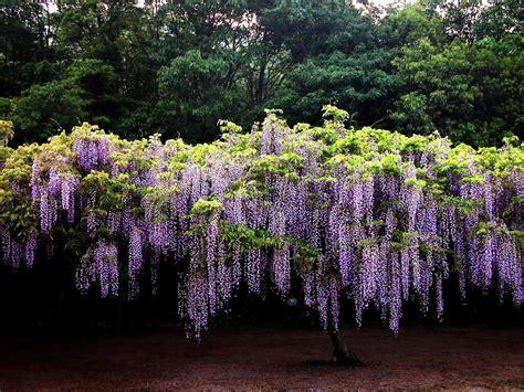 wisteria flower history of wisteria park