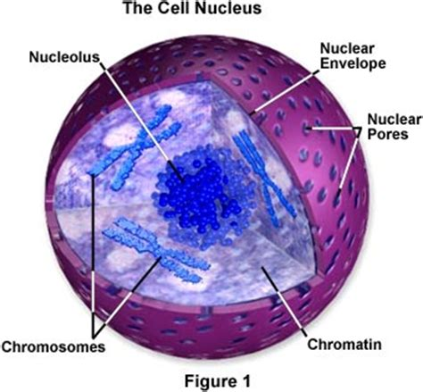 diagram of a nucleus molecular expressions cell biology animal cell structure