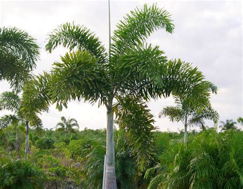 Topiary Tupai 1 foxtail palm id 3916263 buy india plants big trees