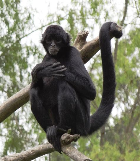 spider monkey wikipedia