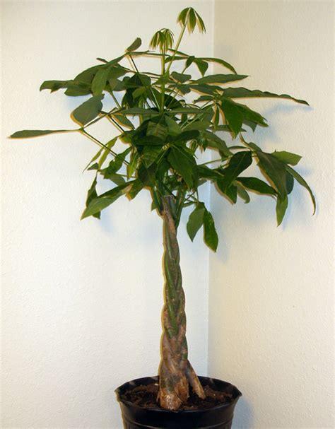 piante da tenere in casa piante portafortuna le migliori da regalare e tenere in