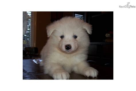 samoyed puppies for sale oregon samoyed puppy for sale near portland oregon 77da5fed 39a1