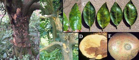 Cincin Pengupas Kulit Jeruk Peduli Ketahanan Hayati Jeruk Penyakit Jeruk Psorosis Dan Bercak Cincin