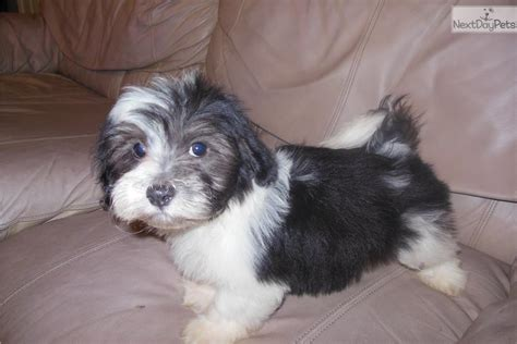 havanese personality meet funk a havanese puppy for sale for 600 mr personality