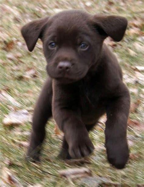 chocolate lab puppies ga best 25 chocolate lab puppies ideas on chocolate labs labs and lab puppies
