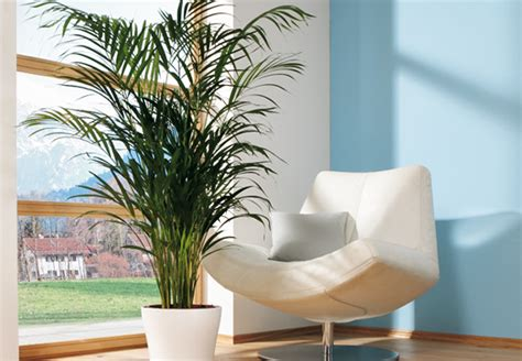 zimmerpflanzen halbschatten zimmerpflanzen richtig pflegen tipps obi